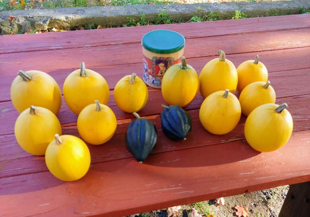 Spaghetti squash and acorn squash harvest at Cedar Swamp Homestead farm stand