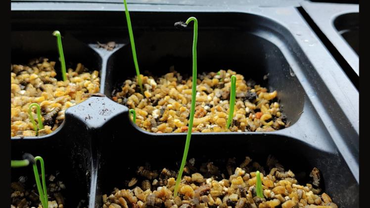 Onion seedlings